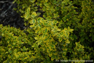 Euonymus fortunei 'Emerald 'N' Gold' (Trzmielina Fortune'a)  - C2