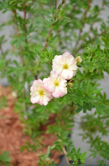 Potentilla fruticosa 'Double Punch Pastel' (Pięciornik krzewiasty) - C3