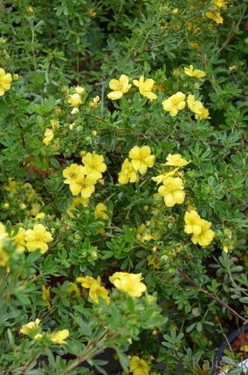 Potentilla fruticosa 'Double Punch Gold' (Pięciornik krzewiasty) - C3