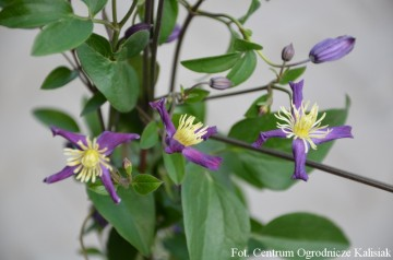 Clematis x aromatica