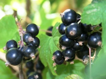Ribes nigrum 'Ojebyn'