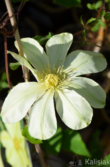 Clematis MOONLIGHT 'Yellow Queen' (Powojnik)  - C2