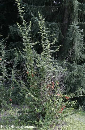 Pyracantha coccinea 'Red Column' (Ognik szkarłatny) - C2