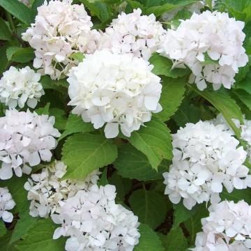 Hydrangea macrophylla 'Soeur Therese' (Hortensja ogrodowa) - C3