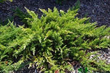Juniperus sabina 'Tamariscifolia' (Jałowiec sabiński) - C2