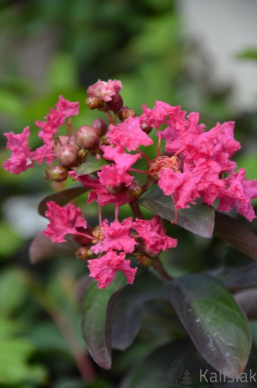 Lagerstroemia indica 'Petite Red' (Lagerstremia indyjska)  - C2