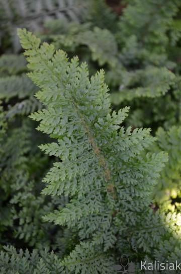Polystichum setiferum 'Plumosum Densum' (Paprotnik szczecinkozębny) - C3