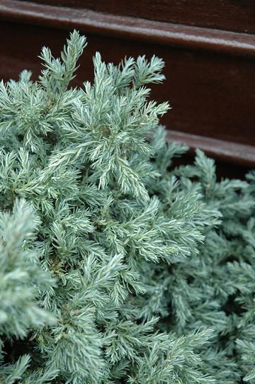 Chamaecyparis pisifera 'Baby Blue' (Cyprysik groszkowy) - C2