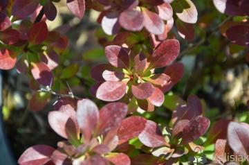 Berberis thunbergii 'Atropurpurea Nana' (Berberys Thunberga) - C2