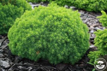 Picea glauca 'Alberta Globe' (Świerk biały) - C2