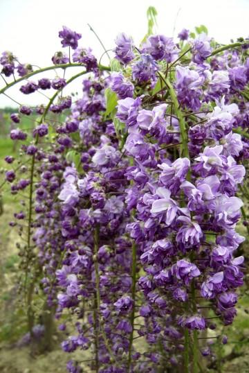 Wisteria floribunda 'Violacea Plena' (Glicynia kwiecista) - C2