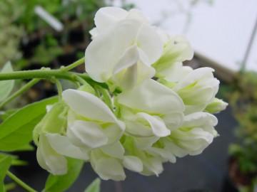 Wisteria frutescens 'Nivea' (Glicynia amerykańska) - C2