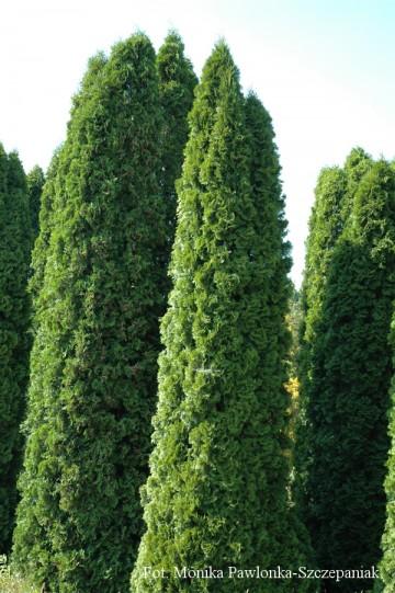 Thuja occidentalis 'Smaragd' (Żywotnik zachodni) - C3