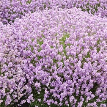 Lavandula angustifolia 'Rosea' (Lawenda wąskolistna) - C2