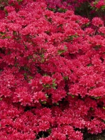 Rhododendron japanese azalea 'Rubinstern' (Azalia japońska) - C2