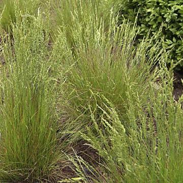 Festuca amethystina (Kostrzewa ametystowa) - C1.5