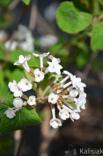 Viburnum carlesii 'Juddii' (Kalina koreańska) - C2