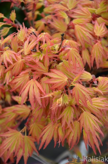 Acer palmatum 'Orange Dream' (Klon palmowy)  - C1,5