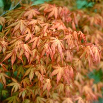 Acer palmatum 'Katsura' (Klon palmowy) - C1,5