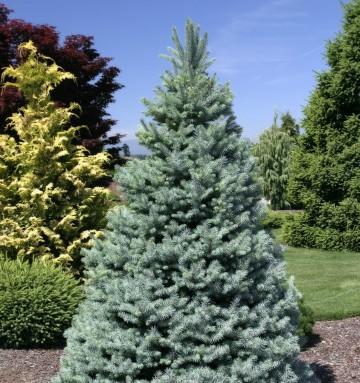 Picea pungens (Świerk kłujący) - C7,5