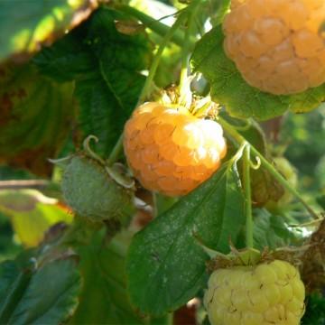 Rubus idaeus 'Poranna Rosa' (Malina) - C5