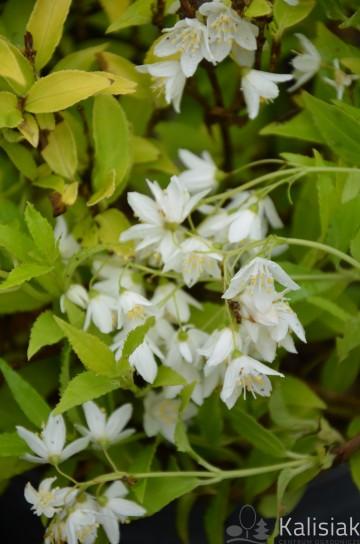 Deutzia gracilis 'Variegata' (Żylistek wysmukły) - C2