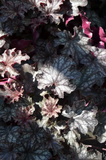 Heuchera 'Blackberry Jam' (Żurawka)  - C2