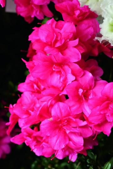 Rhododendron japanese azalea 'Maraschino' (Azalia japońska) - C2