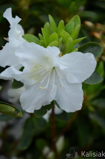 Rhododendron japanese azalea 'Schneezwerg' (Azalia japońska) - C2