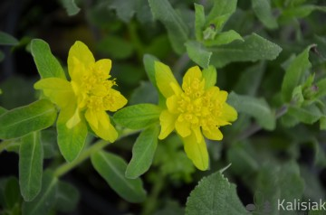Euphorbia polychroma (Wilczomlecz pstry) - C2