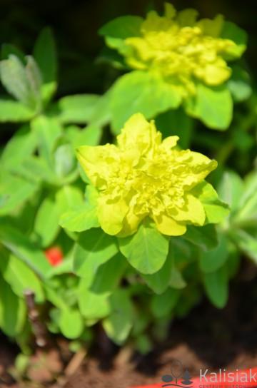 Euphorbia polychroma 'Senior' (Wilczomlecz złocisty) - C2