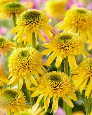 Echinacea 'Eccentric Yellow' (Jeżówka) - P11