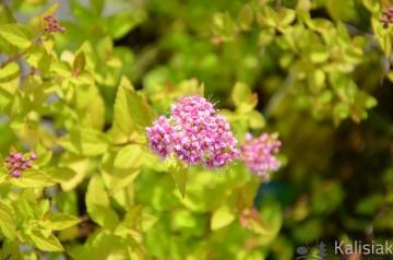 Spiraea japonica 'Sundrop' (Tawuła japońska) - C5