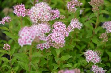 Spiraea japonica 'Japanese Dwarf' (Tawuła japońska) - C1,5
