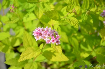 Spiraea japonica 'Goldmound' (Tawuła japońska) - C3
