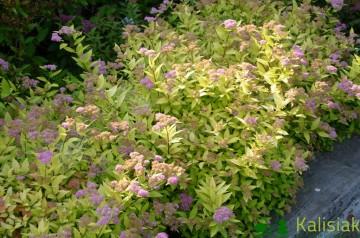 Spiraea japonica 'Golden Princess' (Tawuła japońska) - C2
