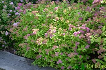 Spiraea japonica 'Goldflame' (Tawuła japońska) - C2