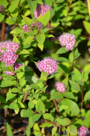 Spiraea japonica 'Galen' (Tawuła japońska) - C2