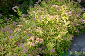 Spiraea japonica 'Golden Princess' (Tawuła japońska) - C5