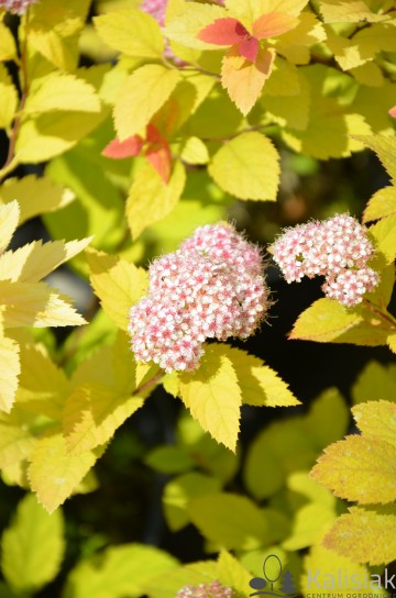 Spiraea japonica DOUBLE PLAY BIG BANG 'Tracy' (Tawuła japońska)  - C5