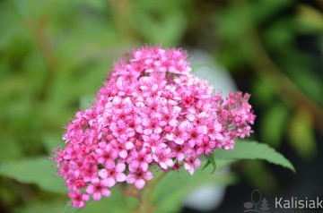 Spiraea japonica 'Dart's Red' (Tawuła japońska) - C2