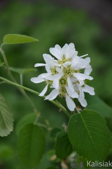 Amelanchier alnifolia 'Northline' (Świdośliwa olcholistna) - C2,5