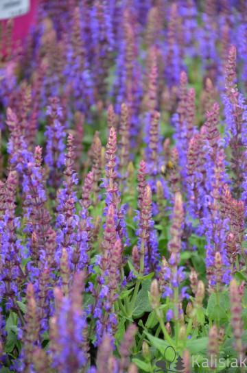Salvia nemorosa 'Sensation Compact Violet' (Szałwia omszona) - C2