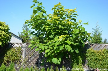 Catalpa bignonioides 'Aurea' (Surmia bignoniowa) - C5