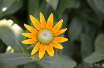 Rudbeckia 'Olivia' (Rudbekia) - C2