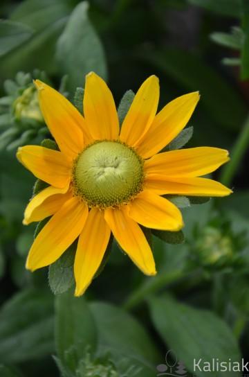 Rudbeckia 'Sophia Yellow' (Rudbekia) - C2