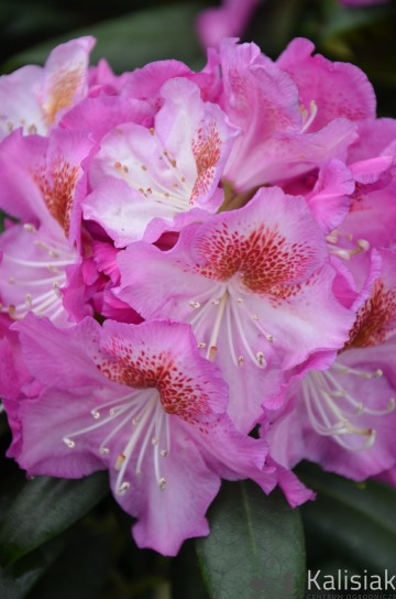Rhododendron ROYAL VIOLET 'Kazimierz Odnowiciel' (Różanecznik) - C5