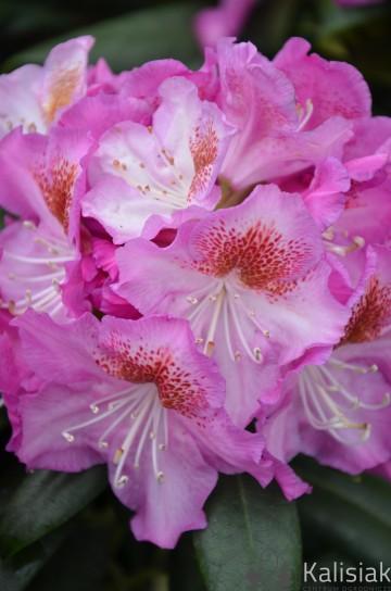 Rhododendron ROYAL VIOLET 'Kazimierz Odnowiciel' (Różanecznik) - C4
