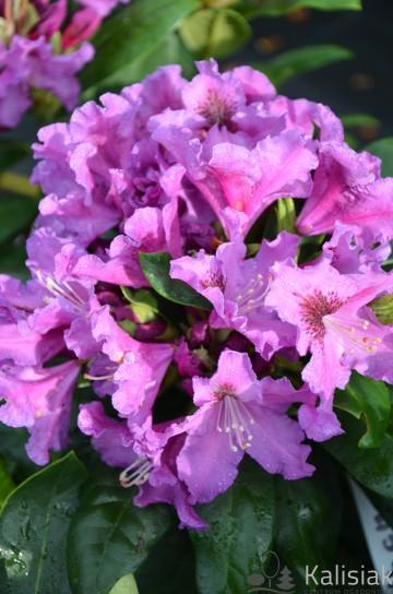 Rhododendron 'Rasputin' (Różanecznik) - C4