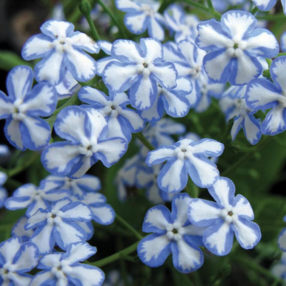 Brunnera macrophylla 'Starry Eyes' (Brunera wielkolistna) - C5